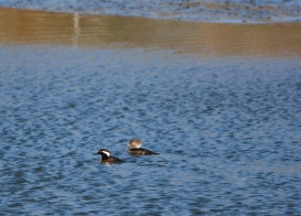 Hooded Merganser pair in the channel (Grace Murayama 12-18-15)
