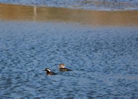 Hooded Merganser pair in the channel (Grace Murayama 12-18-15)