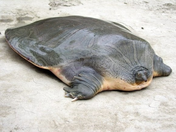 Narrow-headed Softshell Turtle (from Imjur)