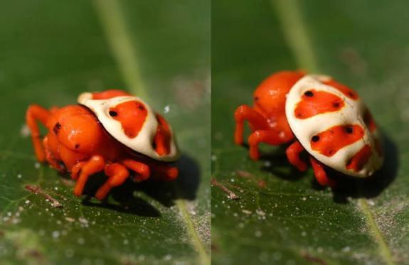 Orange Tortoise Spider (from Imgur)