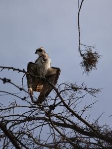 Bedraggled Osprey (Grace Murayama 12-13-15)