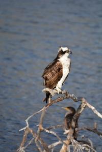 Dry Osprey (Grace Murayama 12-13-15)