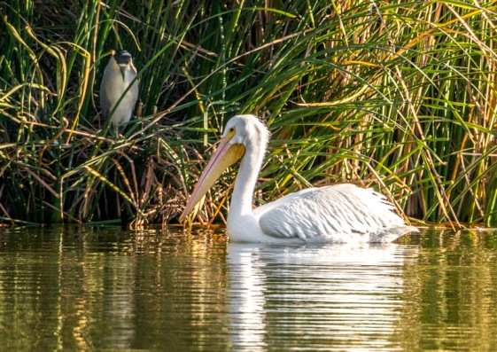 American White Pelican & Black-crowned Night-Heron (Ray Juncosa 12/12/15)