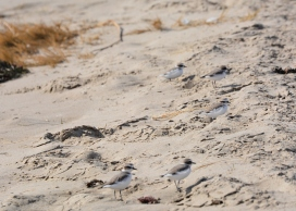 Snowy Plover roost, cryptic in the sand (Grace Murayama 12-5-15)
