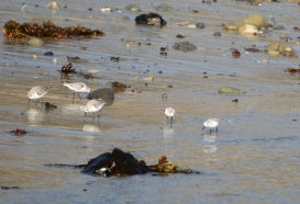Sanderling group - often confused with Snowy Plovers (Grace Murayama 12-9-15)