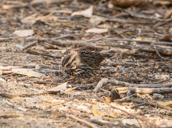 Song Sparrow (Ray Juncosa 12/12/15)