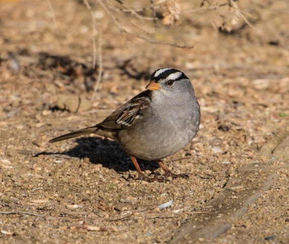 White-crowned Sparrows were common (Ray Juncosa 12/12/15)