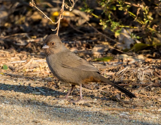 California Towhee (Ray Juncosa 12/12/15)