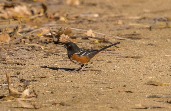 Spotted Towhee (Ray Juncosa 12/12/15)