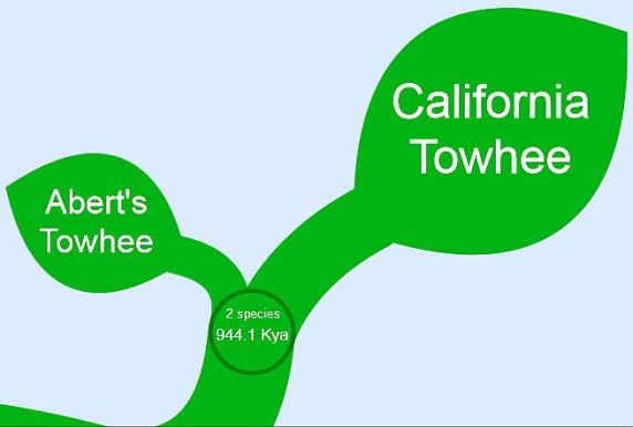 Time separating Abert's and California Towhees from Tree of Life