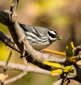Black=throated Gray Warbler seizes a vermiform (Ray Juncosa 12/12/15)
