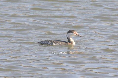 Horned Grebe A. Douglas, Malibu Lagoon 1/24/16