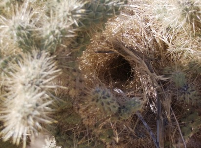 Cactus Wrens favor the cholla for nest location (Roxie Seider 10/31/15)