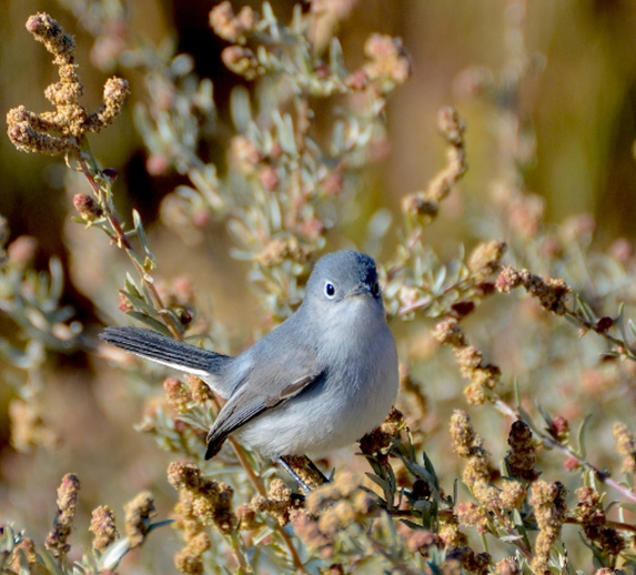Blue-gray Gnatcatchers are still here (G. Murayama 12-31-15)
