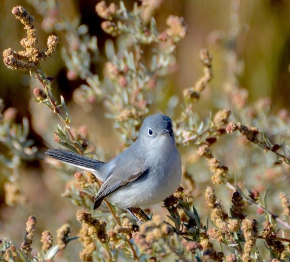 Blue-gray Gnatcatchers are still here (G. Murayama 12-31-15)