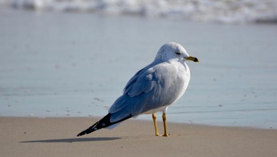 A drowsy Ring-billed Gull (G. Murayama 12-29-15)