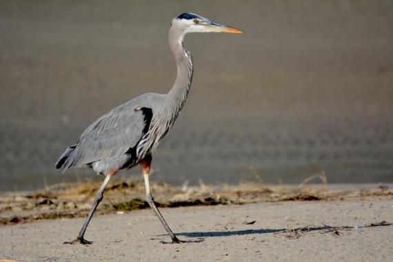 Great Blue Heron striding purposefully (G. Murayama 12-24-15)