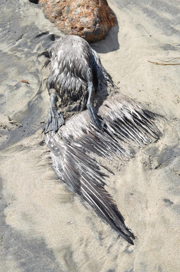 Cormorant in sand copyright 2016 d. Sanders Pt. Dume 1/223/2016