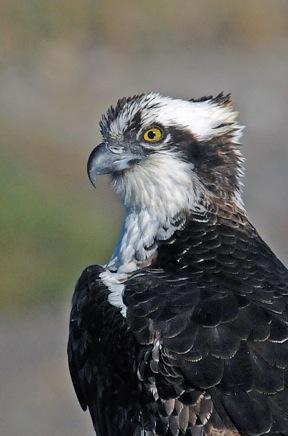 Osprey close-up (Jim Kenney 11-25-15)