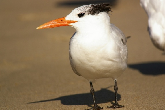 The Royal Tern In Winter (Bob Gurfield 12-18-15)