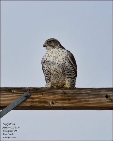 1Bird_Gyrfalcon sitting_Tom Lawler_Wallowa_Photo Jan 27, 4 49 27 PM