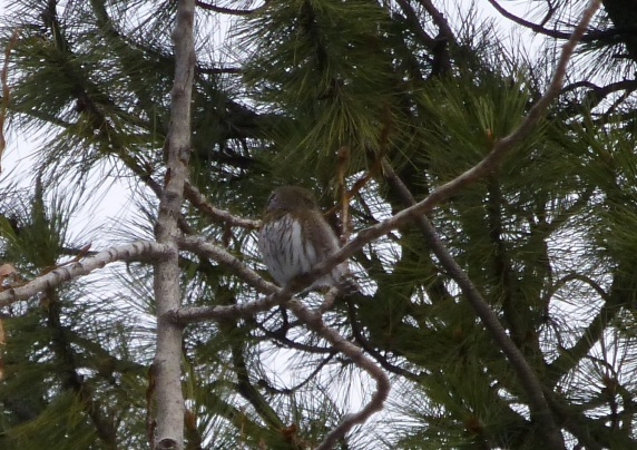 Pygmy Owl (Lillian Johnson, Wallowa Valley Jan'16)