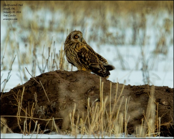 1Bird_Owl Short-eared 1_Tom Lawler_Wallowa_Photo Jan 28, 4 18 43 PM