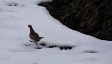 Gray Partridge on the run (Bill Griffiths, Wallowa Valley Jan'16)