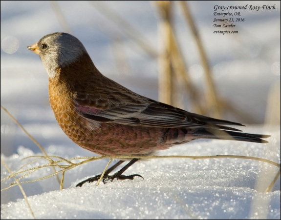 1Bird_Rosy-Finch Gray-crowned_Tom Lawler_Wallowa_Photo Jan 28, 11 34 15 AM