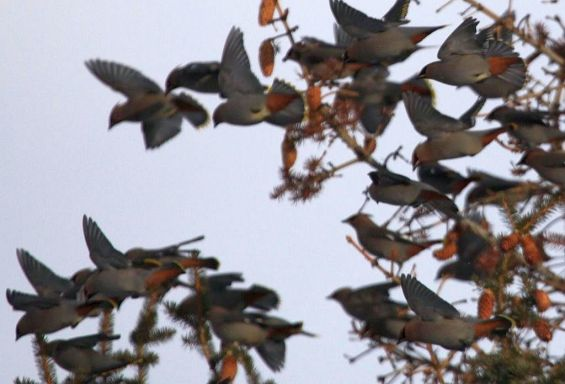 Bohemian Waxwing flock (Bill Griffiths, Wallowa Valley Jan'16)