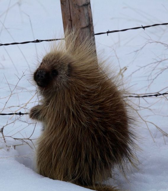 Porcupines are famous for their soft, warm fur (Bill Griffiths, Wallowa Valley Jan'16)