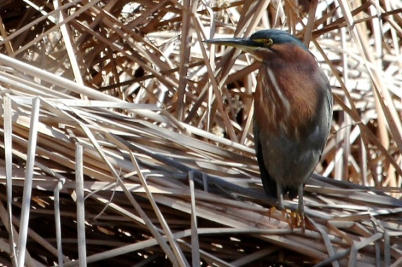Green Heron, one of many (J. Waterman 2-13-16)
