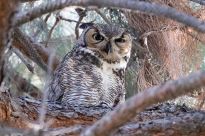 Great Horned Owl mate stands guard (R. Ehler 2-13-16)