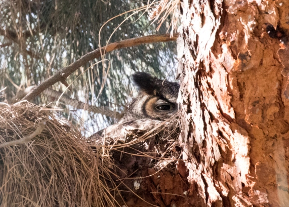 Great Horned Owl on the nest (R. Ehler 2-13-16)