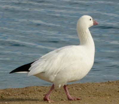 Snow Goose, Mei Kwan, 1/16/16
