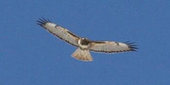 Red-tailed Hawk, Mei Kwan, 1/16/16