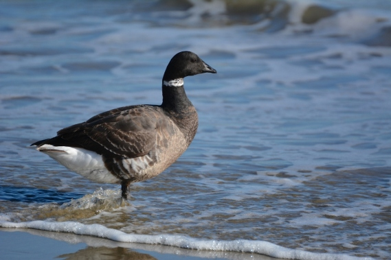 Brant at ocean's edge (G. Murayama 3/24/16)