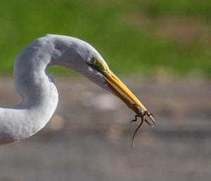 Great Egret captures a lizard (Ray Juncosa 2-28-16)