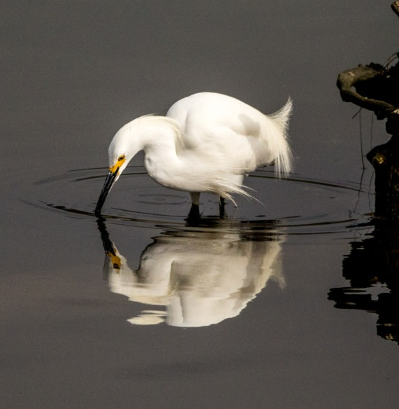 Snowy Egret in a reflective moment (R. Juncosa 3/27/16)
