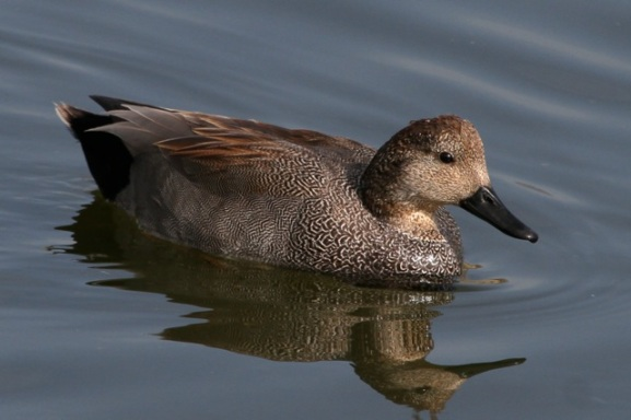The finely vermiculated male Gadwall (Joyce Waterman 2-28-16)