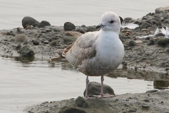 Mew Gull, uncommon at the lagoon (Joyce Waterman 2-28-16)