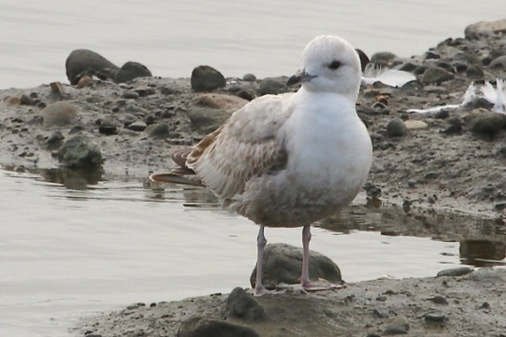 Mew Gull, uncommon at the lagoon (Joyce Waterman 2-28-16)