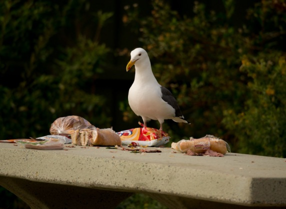 Picnic time with Western Gull (R. Juncosa 3/27/16)