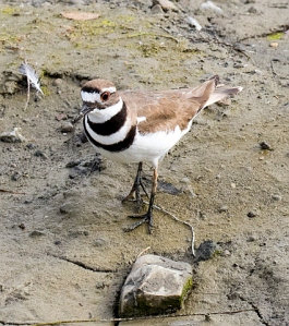 Killdeer, not as cryptic as eariler (R. Ehler 3/27/16)