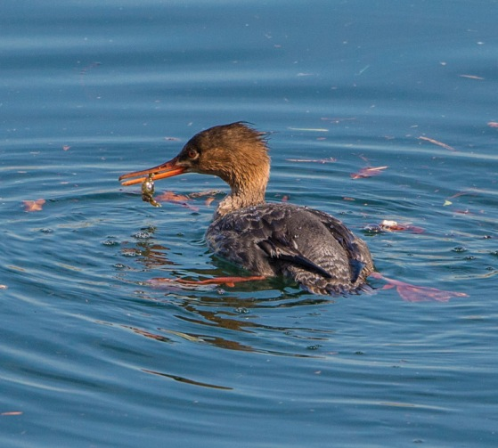 Female Red-breasted Merganser with a crab (Ray Juncosa 2-28-16)