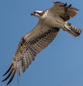 Osprey overhead (Ray Juncosa 2-28-16)