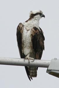 Osprey (Joyce Waterman 2-28-16)