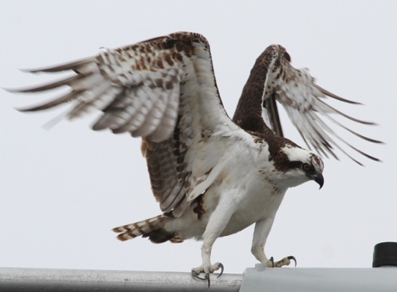Wing stretching Osprey (Joyce Waterman 2-28-16)