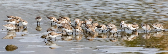 Western Sandpipers on their way back north (R. Ehler 3/27/16)