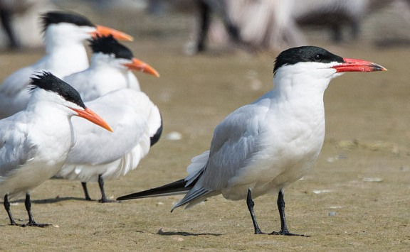 Caspian Tern surrounded by Royals (R. Juncosa 3/27/16)
